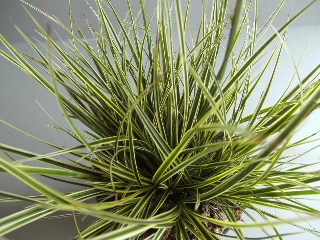 Gräser Pflanzen carex brunnea 3 jpg